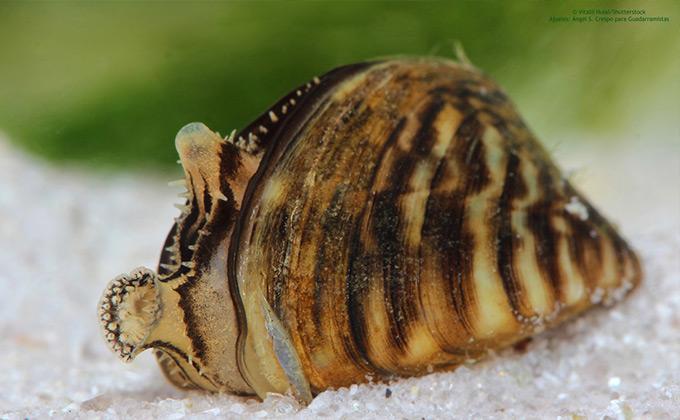 Mejillon-cebra