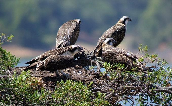 águila pescadora 2