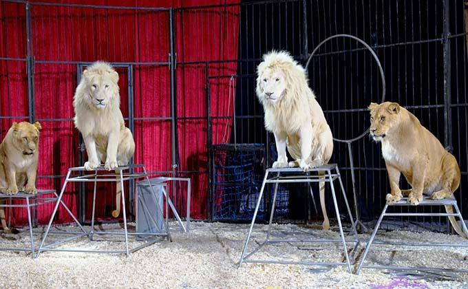 circos-animales