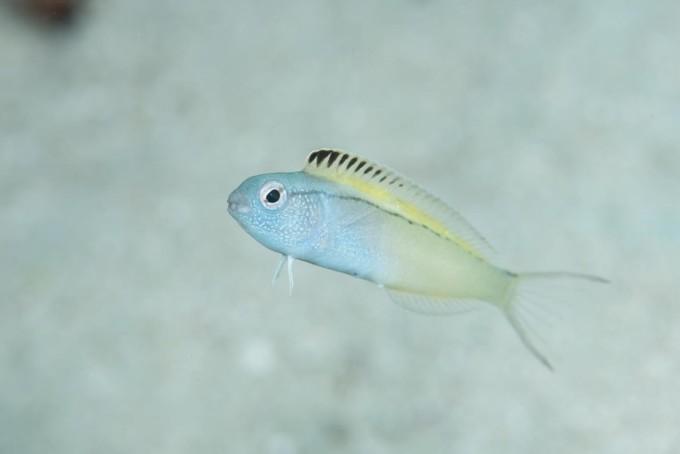 pez-veneno