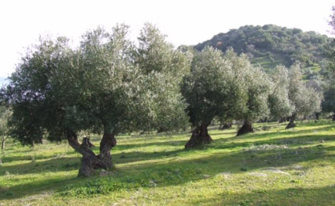 acite aceituna olivo