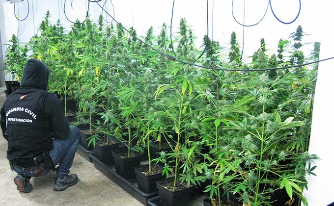 plantacion cannabis