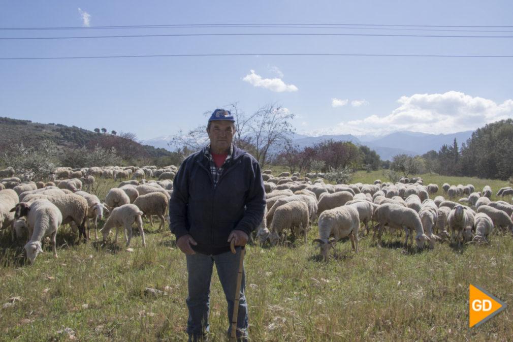 Un rebaño de 580 ovejas segureñas acuden a pastar a la Dehesa del Generalife_