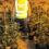 Intervienen casi 300 plantas de marihuana tras un incendio que provocó un apagón en Las Gabias