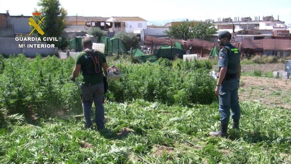 Guardia Civil parcelas intervenido miles de plantas de cannabis sativa en Atarfe