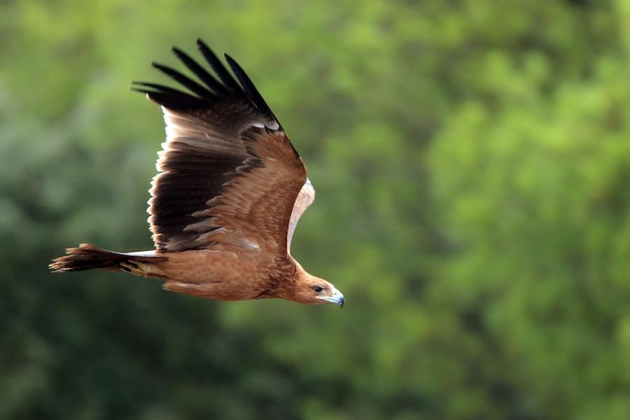 Águila Imperial Ibérica (1)